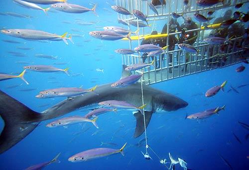 tiburon buceo isla guadalupe