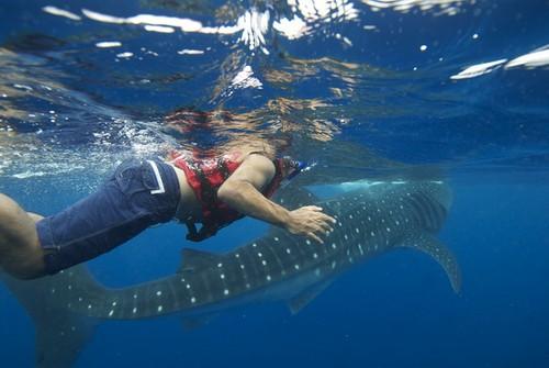 Tiburon ballena en Mexico